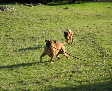 Bullmastiff Breeders